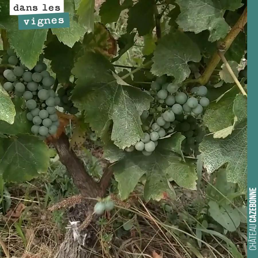 L'effeuillage de la vigne
