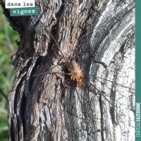 Des araignées dans les vignes