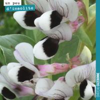 Les fleurs de féveroles
