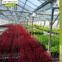 Les plants de vigne
