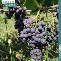 La véraison de la vigne
