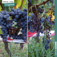 Les maladies de la vigne