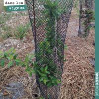 La canicule dans les vignes