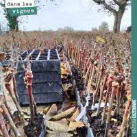 La plantation de la vigne