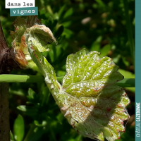 Les cycles de la vigne