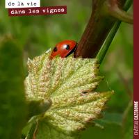 Des coccinelles dans les vignes