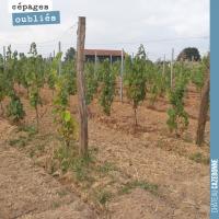 Les cépages oubliés de Bordeaux