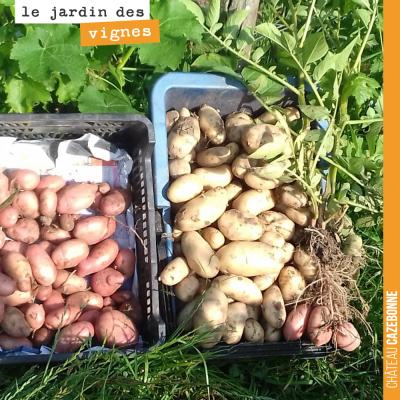 Francis a fait une jolie récolte de pommes de terre, ce matin, au jardin des vignes. #jardin #bio...