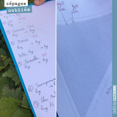 Le schéma de plantation des cépages sur notre parcelle de Couet : 5 cépages rouges et 2 cépages b...