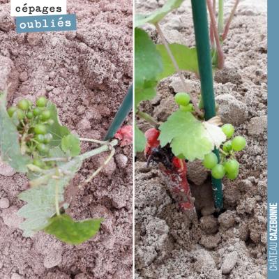 Miracle : déjà 2 grappes sur la penouille et le blanc auba que nous avons planté cette semaine.