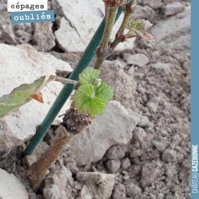 Cette jeune plante de sauvignon noir a survécu à la grêle. La vie repart !