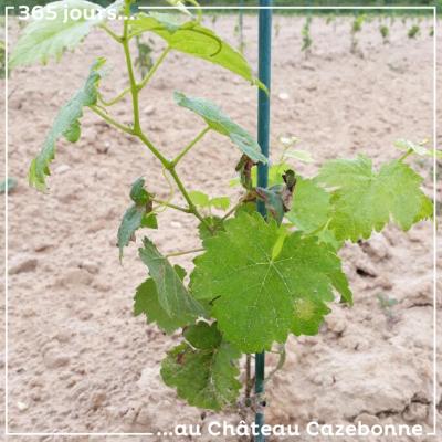 On continue notre présentation des cépages anciens avec un plant de Blanc Auba sur notre parcelle...
