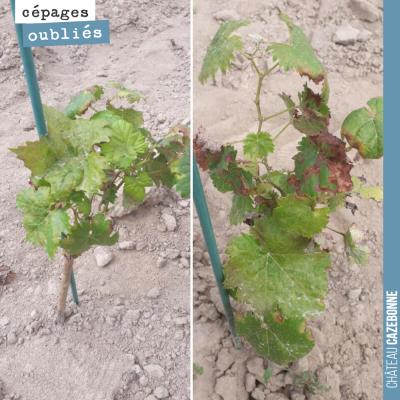 Nous continuons notre présentation des cépages oubliés de Bordeaux. Ici deux plants de Saint-Maca...