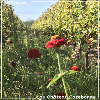 De jolis semis mellifères à même nos vignes. Les abeilles sont nos amies !