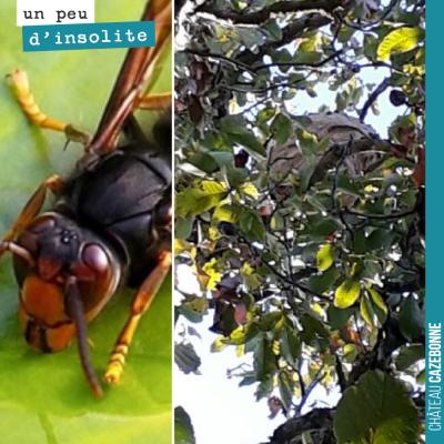 Notre ami apiculteur est passé hier matin et nous a débarrassé du nid de frelons asiatiques dans ...