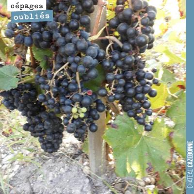 De belles grappes de Saint-Macaire dans les vignes de Loic Pasquet. Ces cépages oubliés de Bordea...