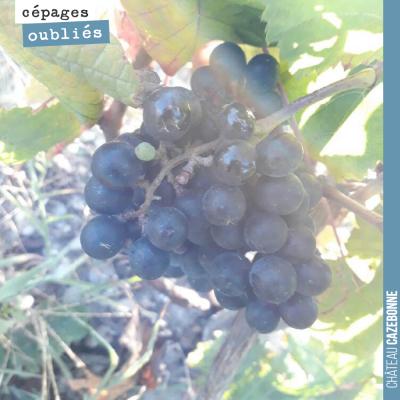 Le petit verdot est un grand cépage. Les grappes sont petites avec des baies bien colorées. Il fa...