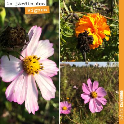 Dernières fleurs au jardin des vignes, avant que l'hiver reprenne ses droits...