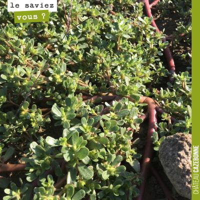 De manière éparse, des plants de pourpiers poussent dans nos vignes. Cette plante se développe su...