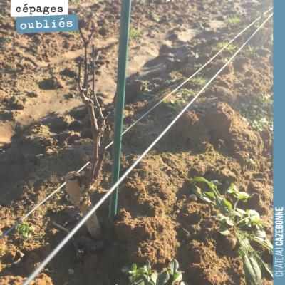 On va se mettre à tailler nos plantations de cépages oubliés. Ici, la parcelle de Saint-Macaire.