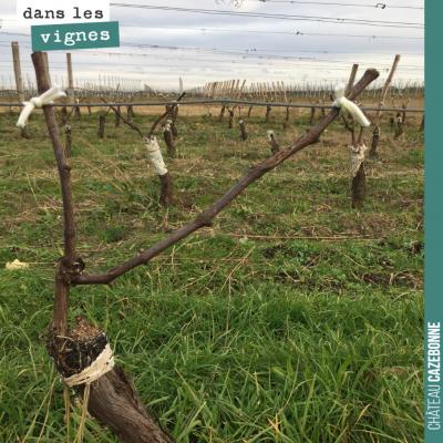 Nous avons attaché les bois sur notre parcelle du Jardin des vignes. Ici, un pied qui a été surgr...