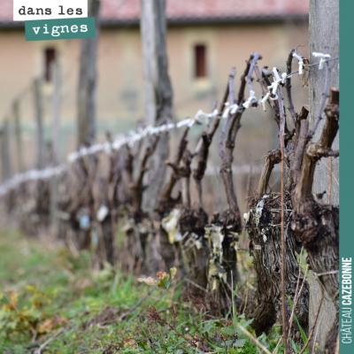 Le travail continue dans les vignes. On attache les bois avec des petites bandes de coton. Cela t...