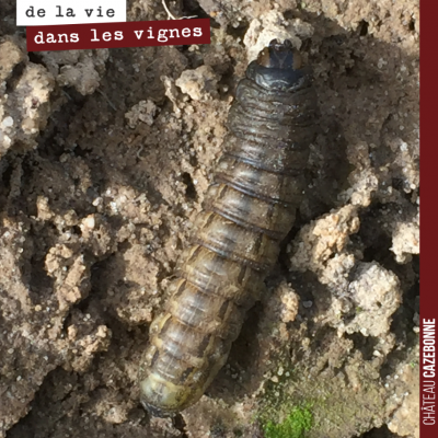 Cette chenille est une noctuelle. Elle peut mesurer jusqu'à 5 centimètres. On l'a découverte dans...