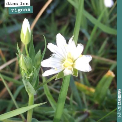 Cette plante, retrouvée dans nos vignes, est une ornithogale ou étoile de Bethléem, du fait de se...