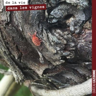 Petit acarien rouge ou araignée rouge retrouvé dans nos vignes. La vie reprend dans nos vignes et...