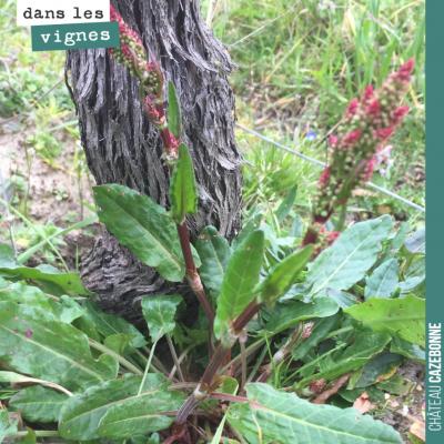 Cette plante est du rumex. Il ne faut surtout pas la laisser monter en graine, car il est souvent...