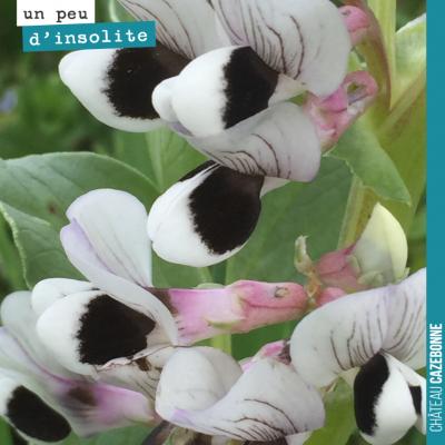 On ne se lasse pas des fleurs de fèveroles, merveilles de la nature.