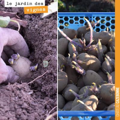 Au Jardin des vignes, Francis a commencé hier la plantation des pommes de terre. De délicieuses p...