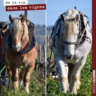 Les deux chevaux de Charles ont fini leur travail dans nos vignes pour cette année. A moins qu'on...