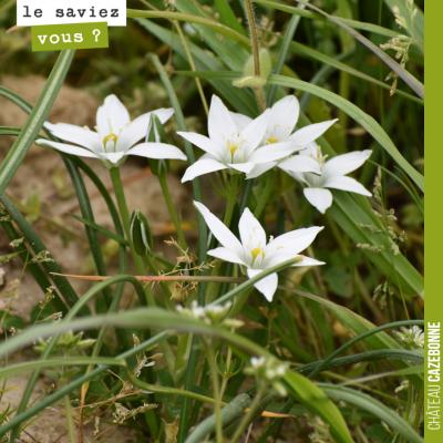 On trouve que ces fleurs sont d'une immense délicatesse. L'ornithogale en ombelle (Ornithogalum u...