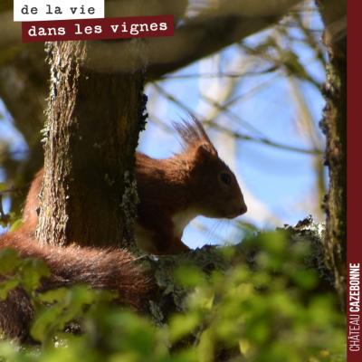 Aux abords d'une parcelle, un joli écureuil roux nous observe. Narquois et craintif.