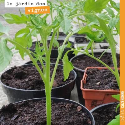 Les plants de tomates ont bien grandi et sont désormais prêts à être repiqués au Jardin des vignes.