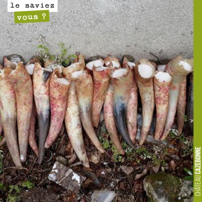 Quand au printemps, on déterre les préparations bouse de corne (500), on en profite pour préparer...