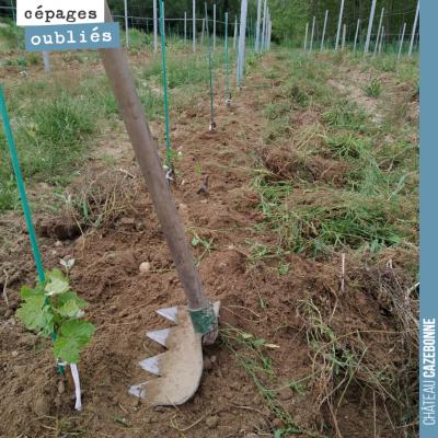 Dans les jeunes plantes de cépages oubliés, on finit à la main le travail que l'outil de désherba...