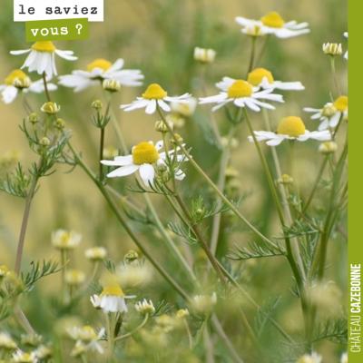 La Camomille Matricaire possède de nombreuses vertus : anti-inflammatoire, antioxydante, détoxifi...