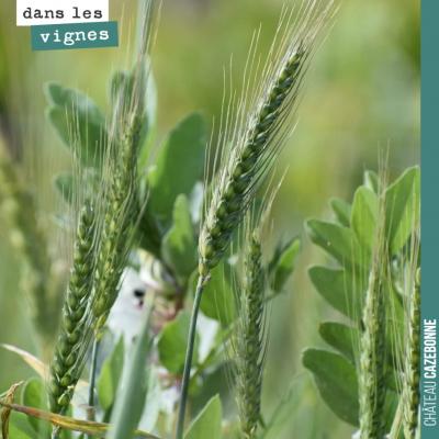 Du blé et des fèveroles dans les vignes : l'un apporte le carbone indispensable pour la constitut...