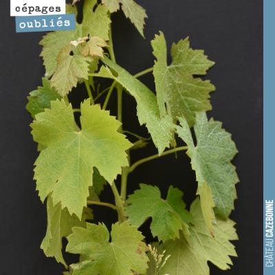 Ce cépage fait également partie de l'encépagement officiel des vins de Bordeaux, mais il est plus...