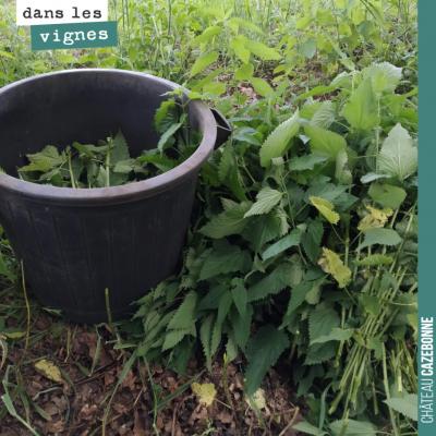Régulièrement préparer du purin d'orties en cette période pour le pulvériser sur la vigne et la s...