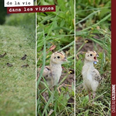 Notre mascotte, la poule faisane, a fait des petits. Ils gambadent joyeusement dans nos vignes.