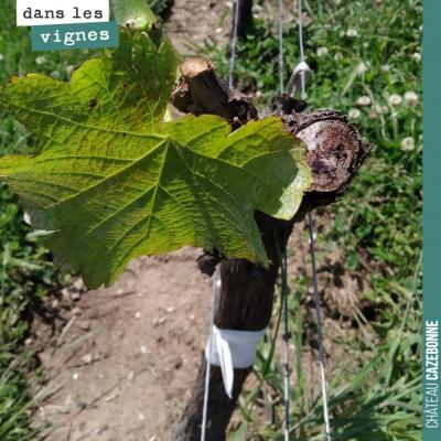 On continue l'entretien de nos plants surgreffés de Mancin. Maintenant que les premières feuilles...