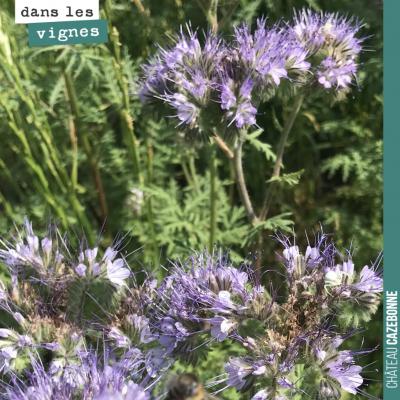 Les semis mellifères que nous avons effectués début juin sont magnifiques. Les abeilles se régale...
