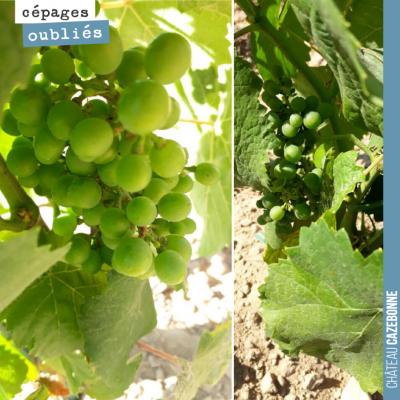Grappes de petit verdot dans nos plantations de l'année dernière. Déjà quelques grappes, malgré l...