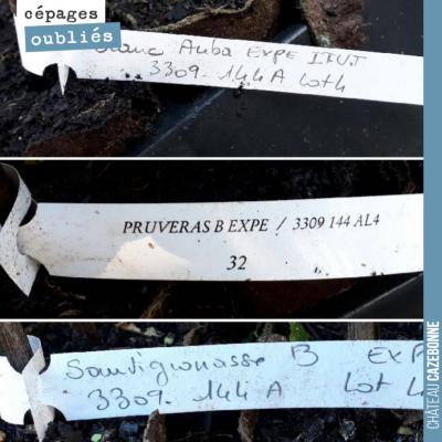 Toujours émouvant de recevoir les plants de cépages oubliés pour la plantation. Ces étiquettes so...
