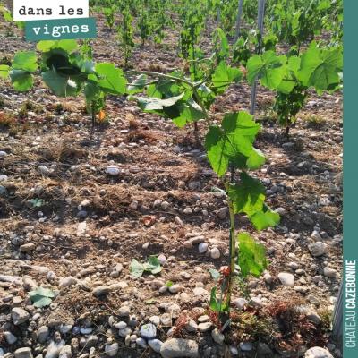 Sur notre plantation de petits verdots de l'année dernière, on attache le mandron au fil. On va f...