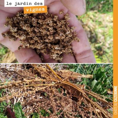 Savez vous quelles sont ces graines que Francis a ramassées comme semences pour l'année prochaine...