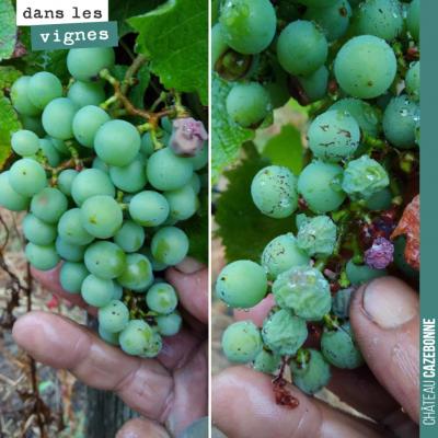 Les grappes belles même si certains grains se sont desséchés sous l'effet de la canicule. Mais da...